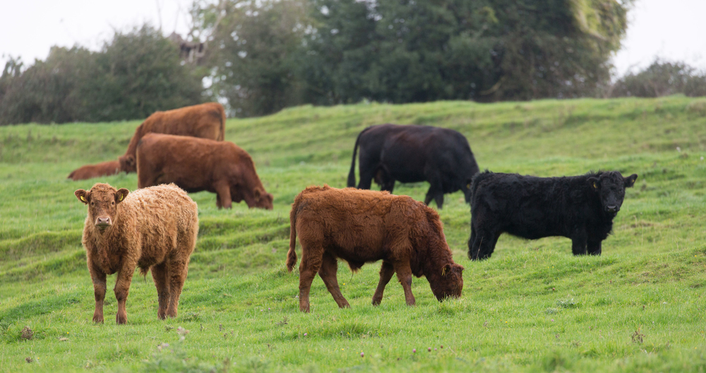 Beef cattle on David Barton's farm