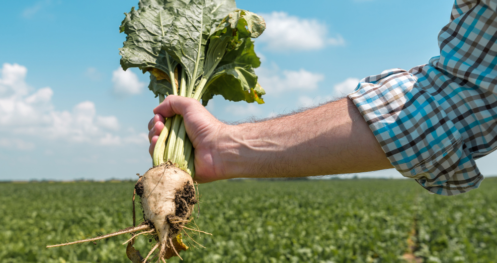 Hand holding sugarbeet