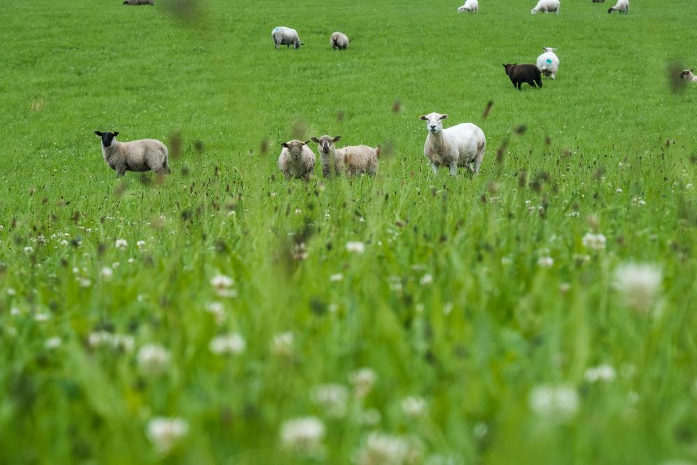 Sheep grazing organic pasture