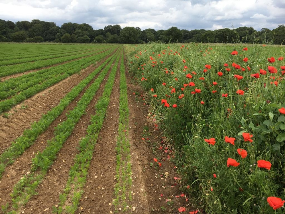 An image of a field that has been spilt into two, on the left a field of vegetables and on the right a predator strip put in to reduce the impact of pests.