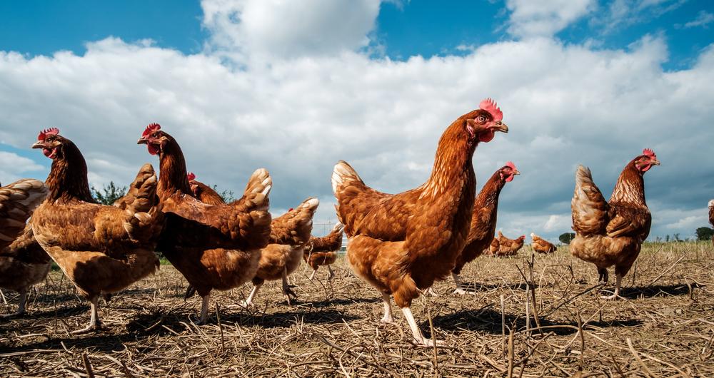 Free range hens enjoying the sunshine