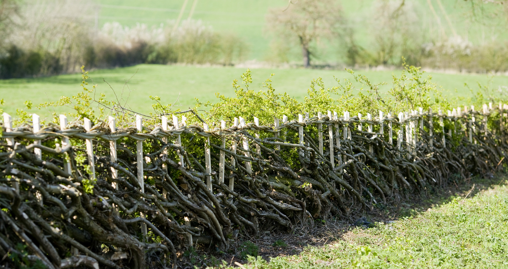 NFU Hedges Competition: Win 100 metres worth of hedgerow plants