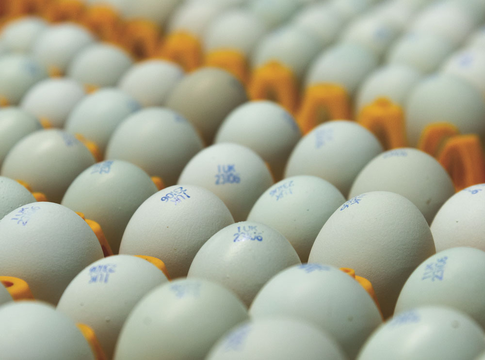 A tray of blue eggs