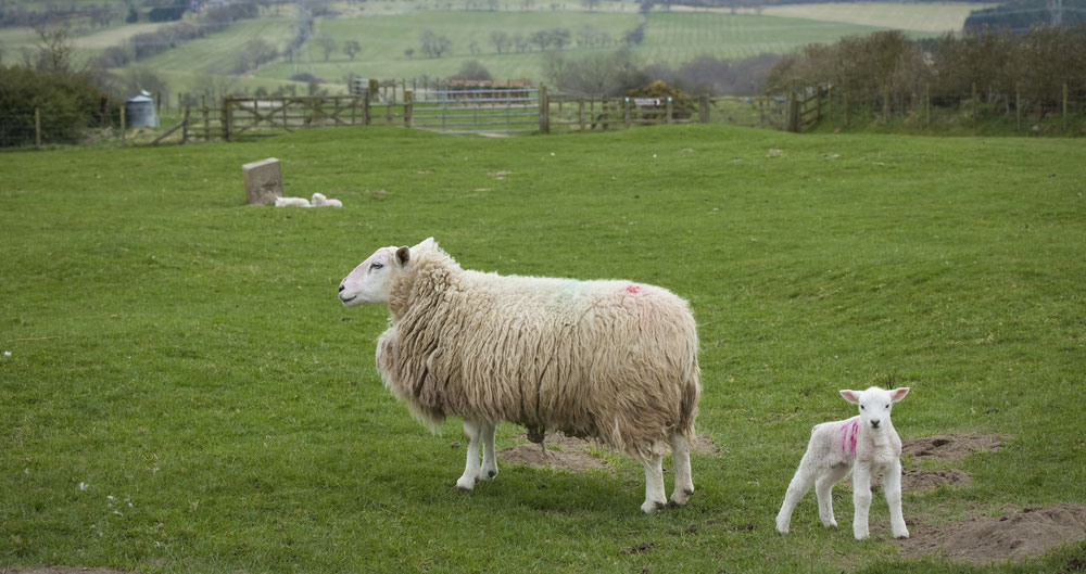 Lamb and ewe, Northumberland