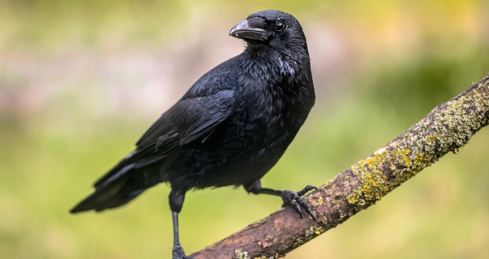 Carrion crow perched on a branch