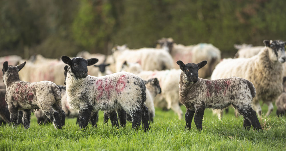 Lambs and ewes on farm