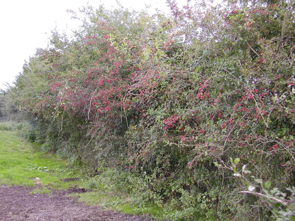 A good farmland hedge perfect for wildlife