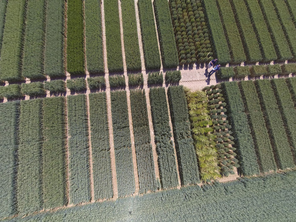 An aerial view of crop trials at NIAB, Cambridge