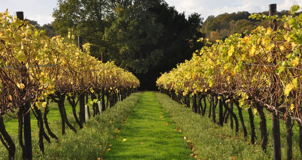 Autumn at Biddenden vineyard