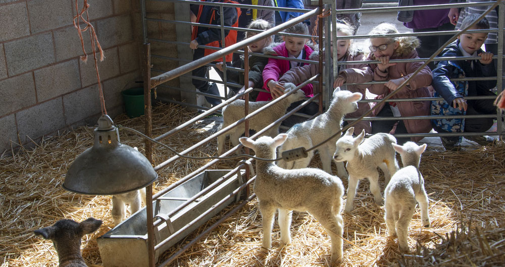 Children meeting lambs on a farm visit.