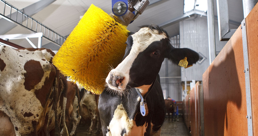A cow enjoying use of a electronic cow brush