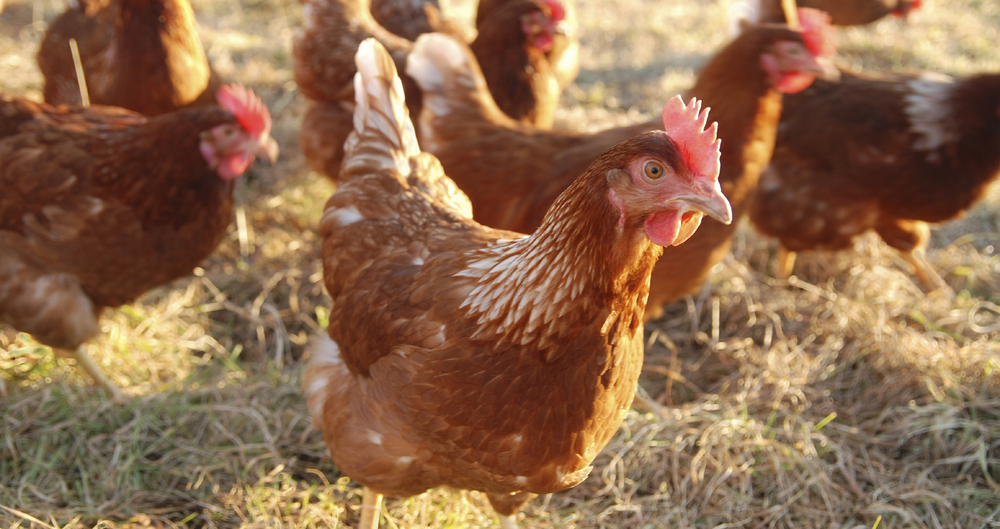 Act now to protect poultry, says NFU