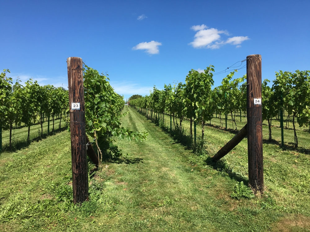 Vineyards at Poulton Hill Estate