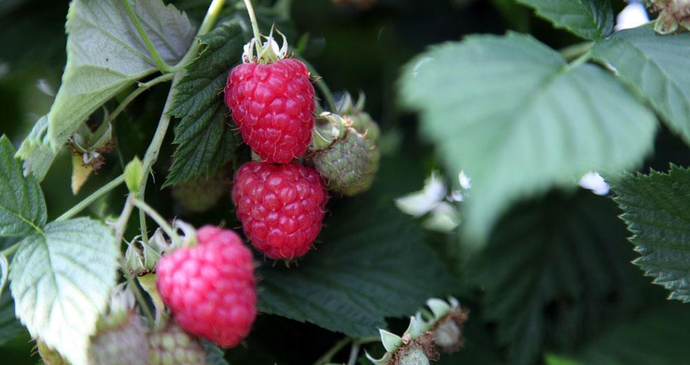 British raspberries