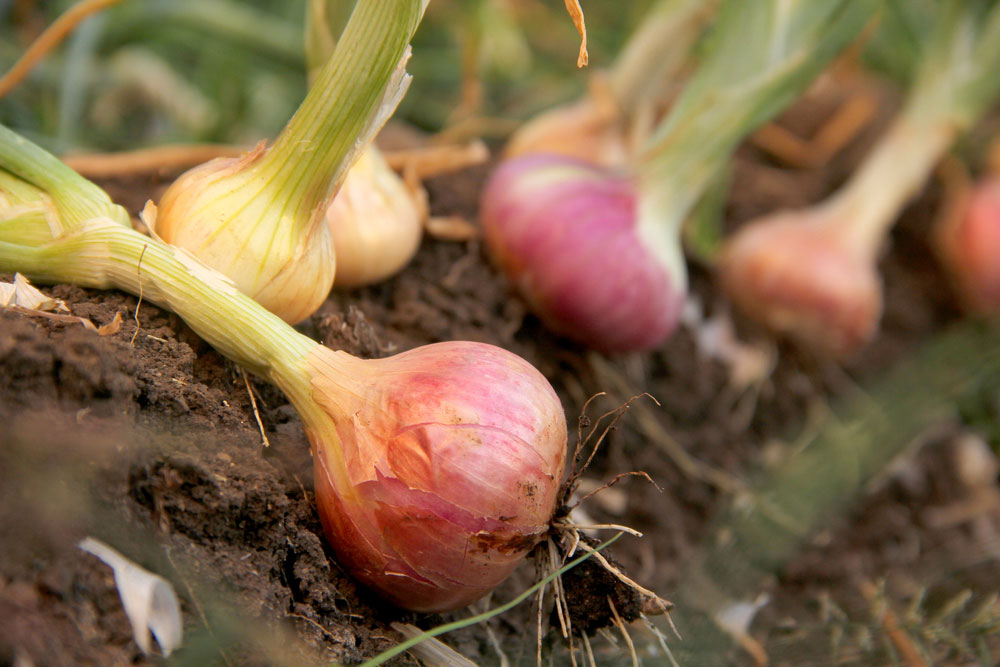 Onions ready to be lifted
