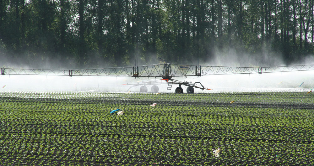 Irrigating salad crops near Littleport