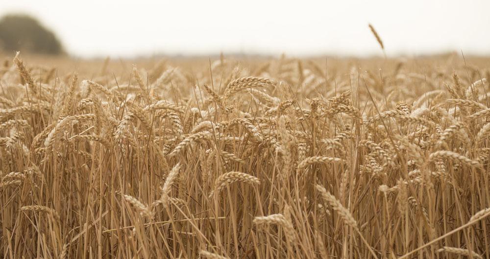 Wheat field, Cambridgeshire