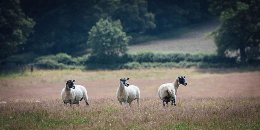 Sheep grazing on Charlie Beaty's farm