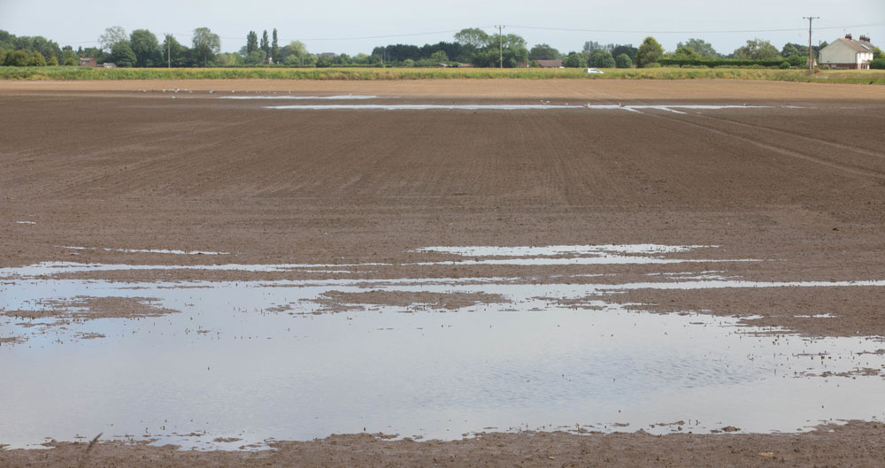 An image of a field of crops which was destroyed after flooding in Wainfleet, Lincolnshire during summer 2019