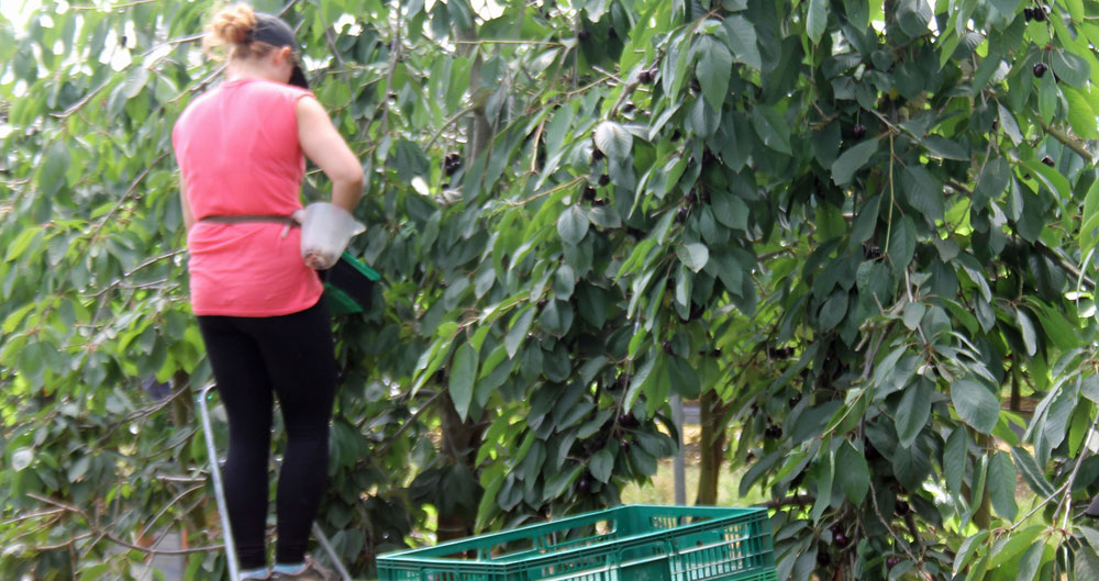 An image of a woman picking fruit