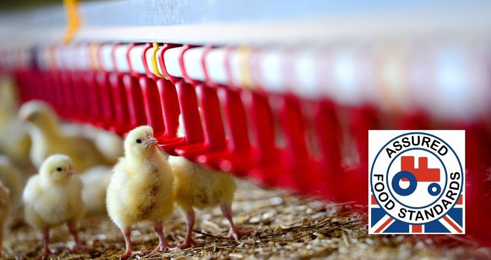 An image of broiler chicks