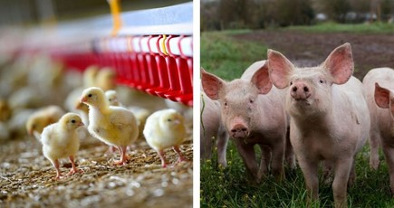 Applying for a new pig or poultry environmental permit after 1 December?