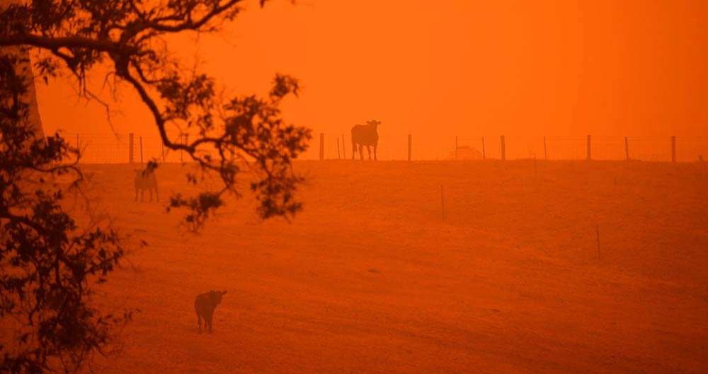 Cattle stand in a field under a red sky caused by bushfires in Greendale on the outskirts of Bega, in Australia's New South Wales state on January 5, 2020