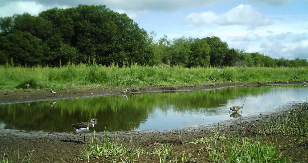 A picture of a lapwing on an area of flooded farmland
