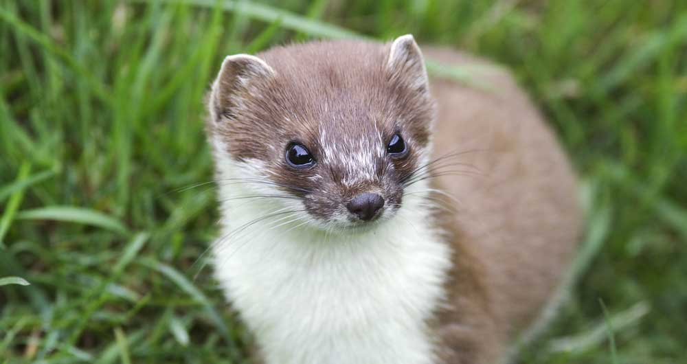 Changes to the control of stoats come into force