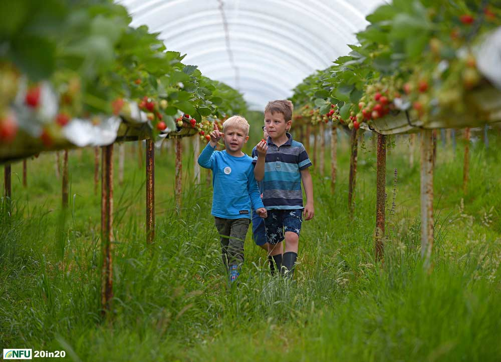 <h4>Open Farm Sunday - Strawberries at Lodge Farm, Lindsey</h4> <p>Matthew Walker and his two friends Alex and William exploring the lanes between the strawberry plants at Lindsey Lodge Farm, near Hadleigh on Open Farm Sunday 2019. The farm grows strawberries, raspberries, runner beans and flowers and all produce is sold locally. Photo: Nikon D4s + 80-200mm F2.8 135mm 1/2000 @ F4 ISO 320</p><p>Warren's comments: <em>Open Farm Sunday seems like an age ago now. A nice day on a farm with loads of visitors exploring and not a two metre distancing sign in sight.</em></p>