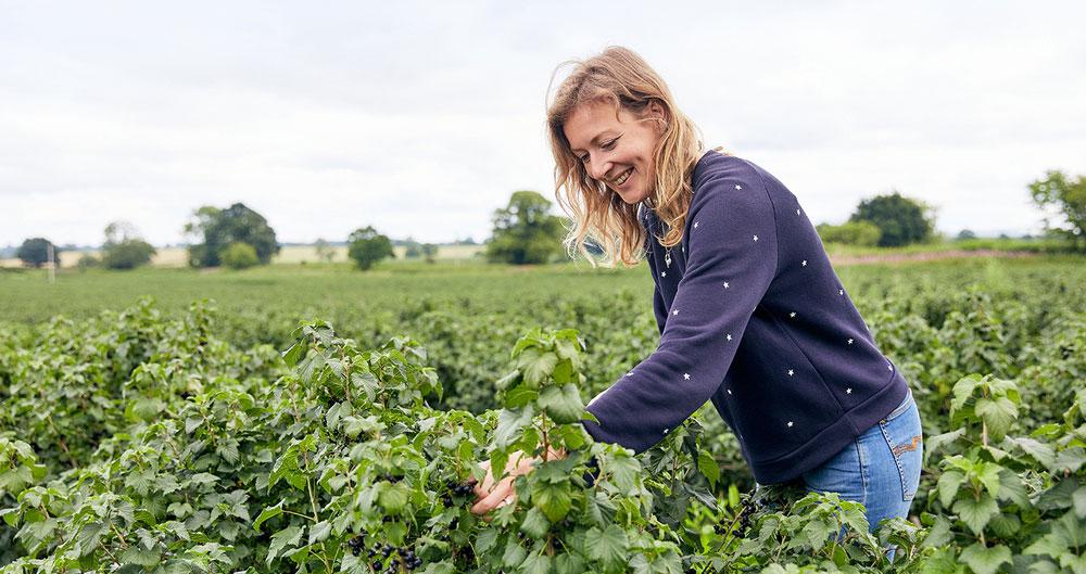 Rosie Begg blackcurrant harvest