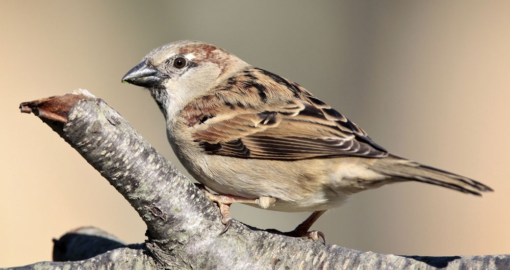 House sparrow pictured in a tree