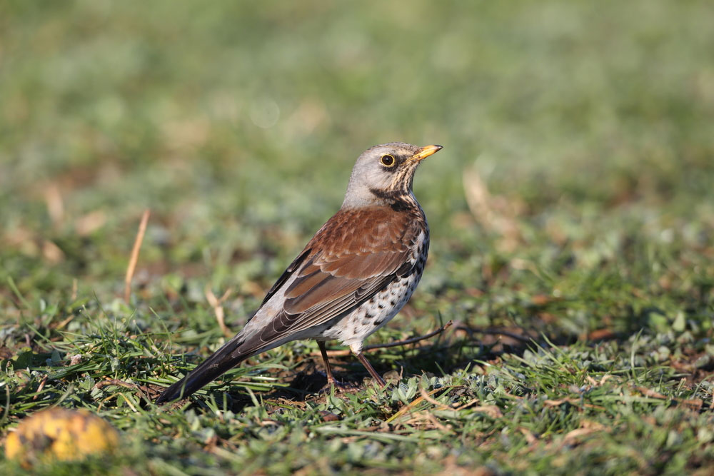 Fieldfare on the ground