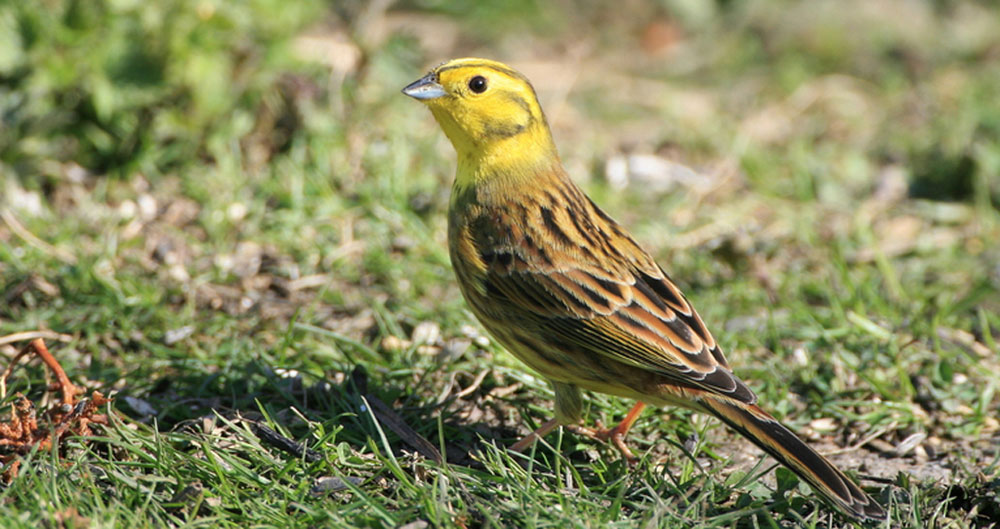 Yellowhammer on farm