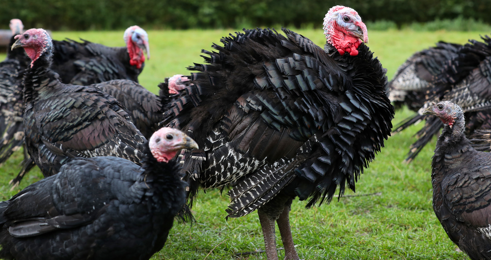 turkey production