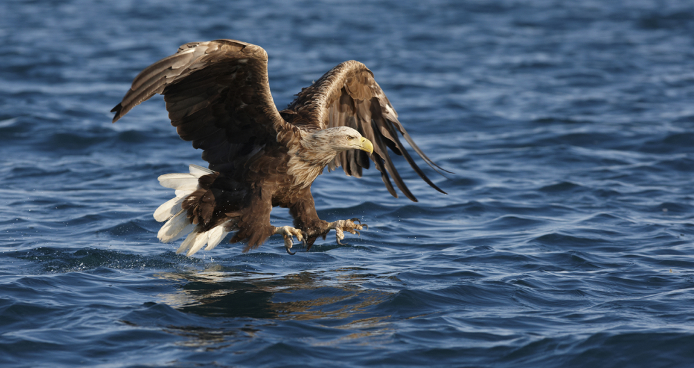 A sea eagle swoops to take a fish
