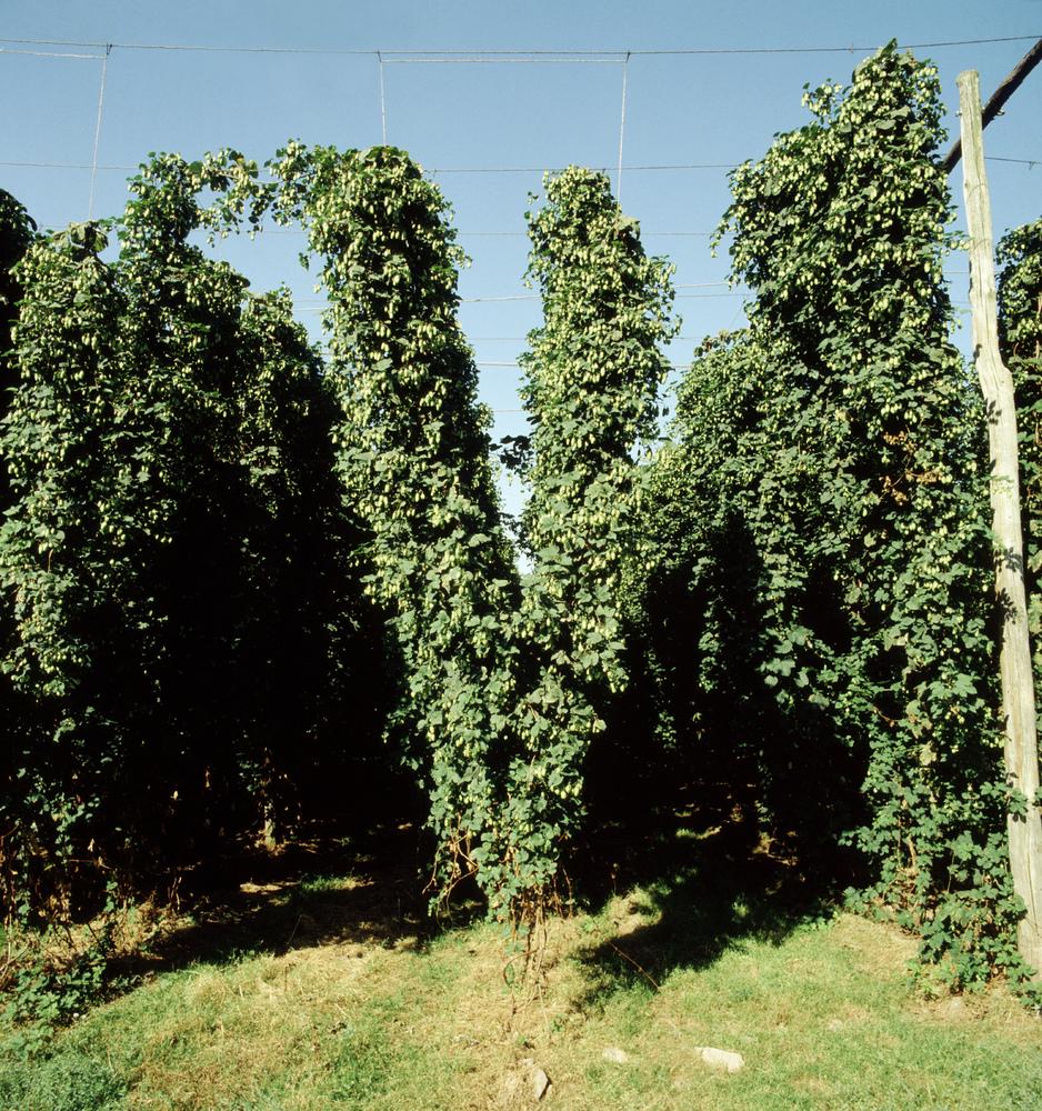 hops in a hopyard