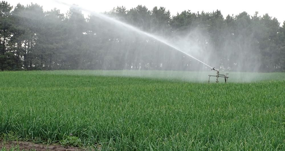 Crops under irrigation in East Suffolk