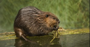 Long-term management plan for naturalised beaver populations is vital, NFU says